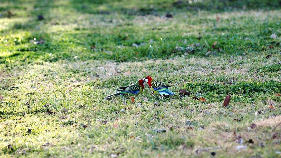 lovebirds Native Bird Of Australia Native Birds Eastern Rosella Birds Bird Photography Free Bird Bird Field Grass Green Color Grassland EyeEmNewHere