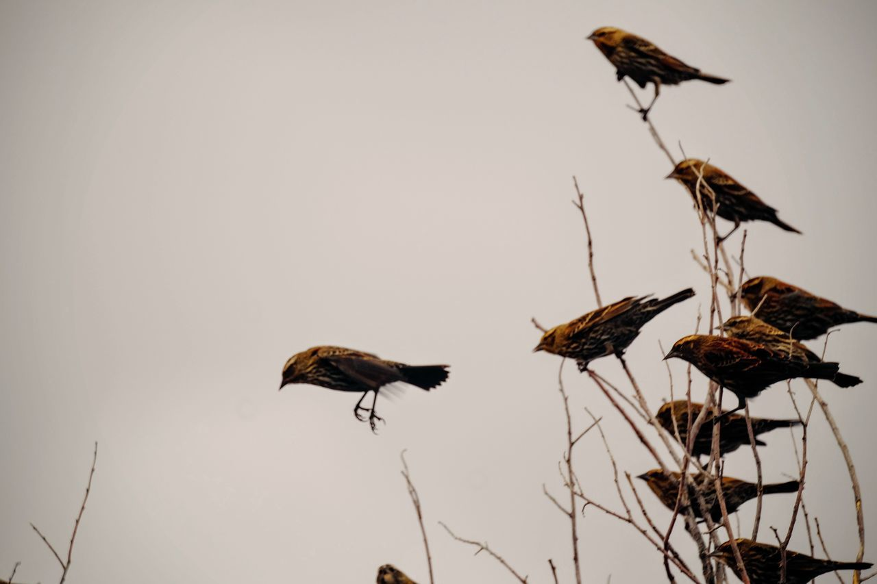 animals in the wild, animal themes, bird, animal wildlife, nature, one animal, no people, outdoors, flying, day, clear sky, beauty in nature, sky