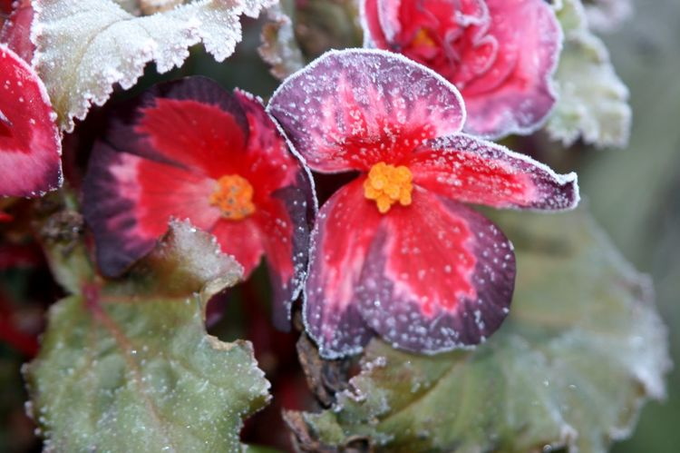 Begonia Flower Frozen Flowers Ice Sparkle Beauty In Nature Cold Temperature Fragility Freshness Winter