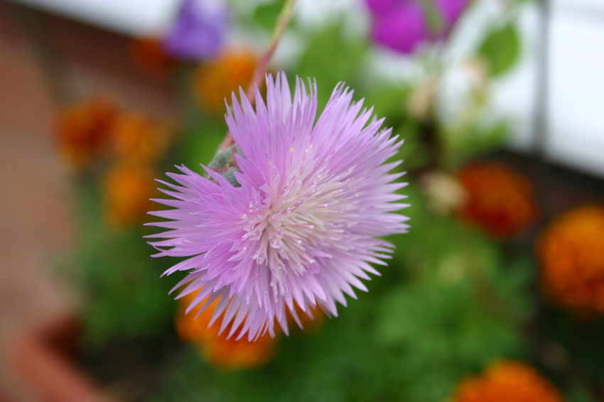 Beauty In Nature Blooming Close-up Day Flower Flower Head Fragility Freshness Growth Nature No People Outdoors Passion Flower Petal Pink Color Plant Pom Pom Flower Purple Thistle