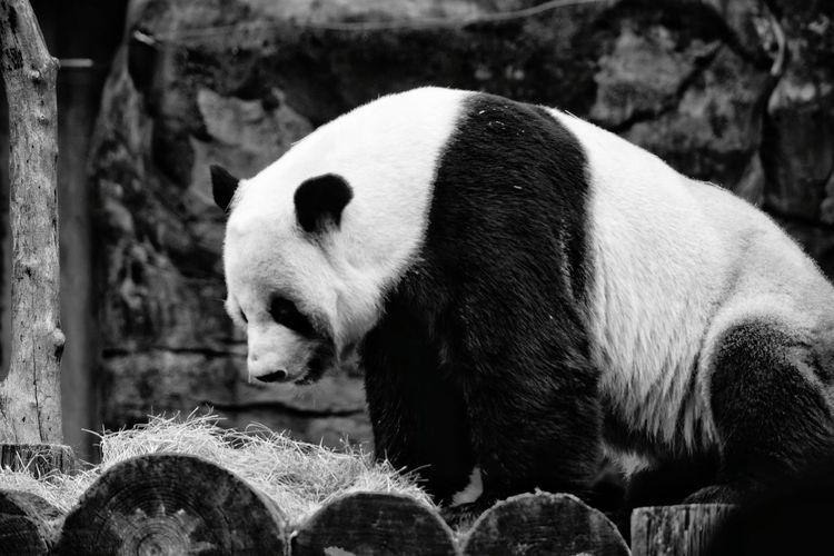 Side view of panda on wood in zoo