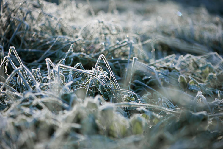 Close-up of frosted grass in garden