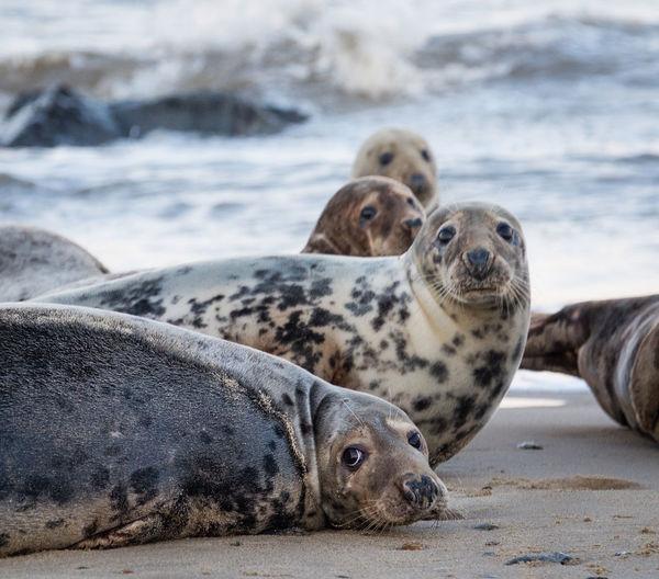 Portrait of seal on beach