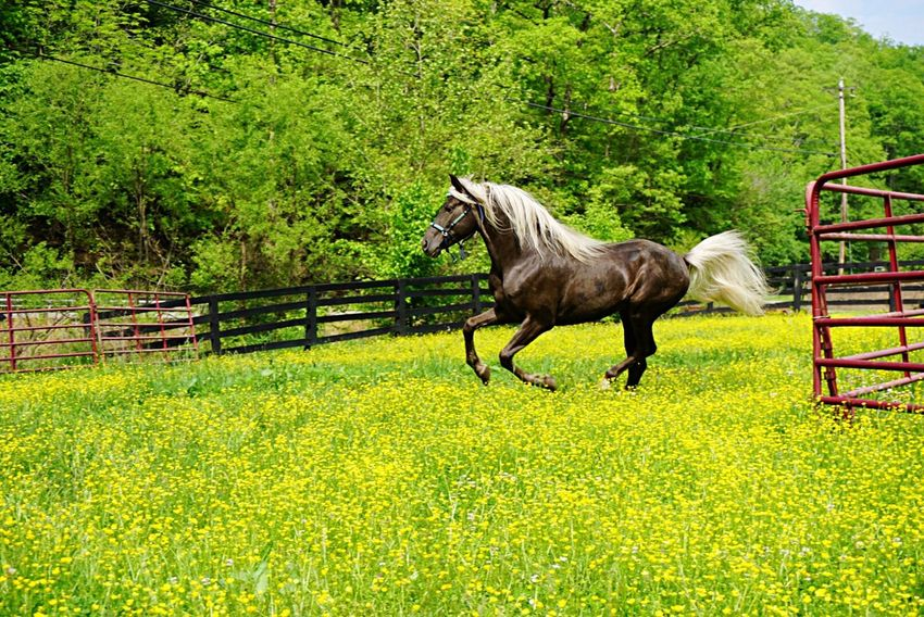 Horse Nature's Diversities Field Of Dreams Buttercups Freedom Kentucky  Flowers The Great Outdoors - 2016 EyeEm Awards Horses Outdoors Check This Out