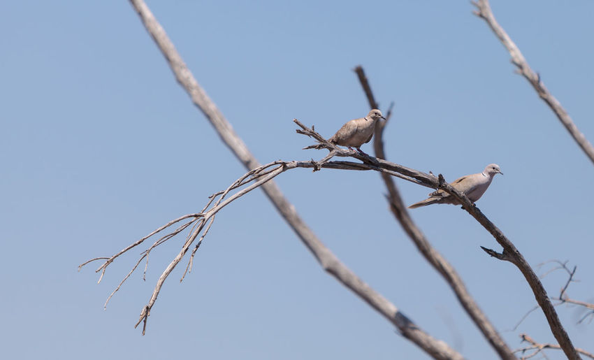 Low angle view of mourning doves perching on branch against clear sky