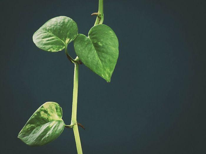 Close-up of fresh green leaf against black background
