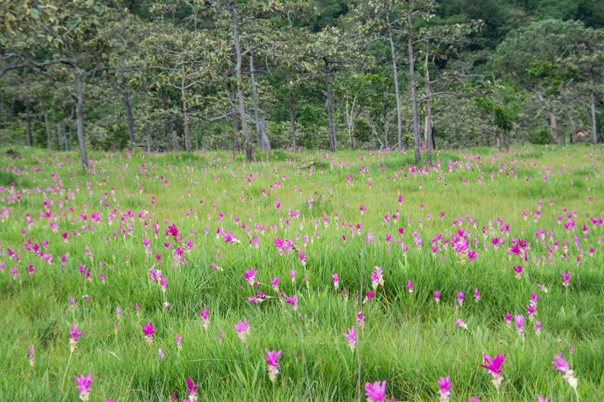 Pink field of Siam tulip at Chaiyaphum Province, Thailand. Beauty In Nature Field Flower Flower Head Flowerbed Grass Green Color Growth Landscape Leaf Nature No People Outdoors Pink Color Plant Poppy Rural Scene Scenics Siam Tulip Summer Tranquil Scene Travel Destinations Tree Uncultivated Wildflower