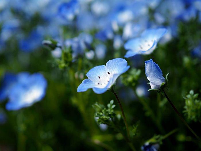 ネモフィラ Flower EyeEm Nature Lover Blossom かさだ広場