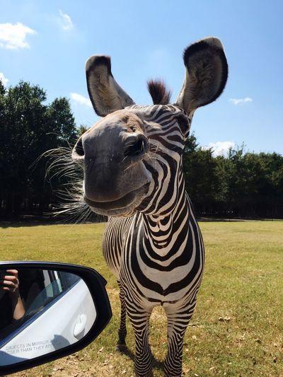 Franklin Drive Through Safari Safari Zebra Friendly Zebra Zebra Chillin