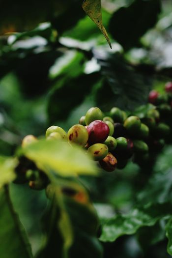 Fruit Green Color No People Plant Nature Close-up Outdoors Coffeeplant Coffee