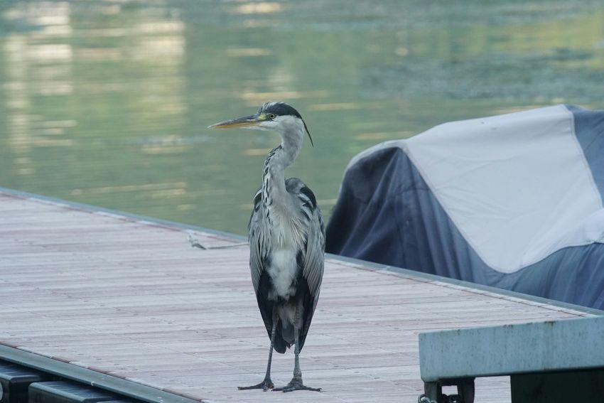 Airone Cenerino Uccello Bird Selvatico Wild Bird Lake Lago Di Como Lago Italy Sony A7rm2 Soligor2x Luca Riva