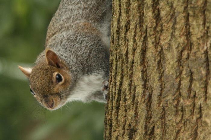 Hello gorgeous! Squirrel Grey Squirrel Grey Squirrel On Tree Trunk In Park Mammal Nature Wildlife & Nature Wildlife Cute Grey Adorable