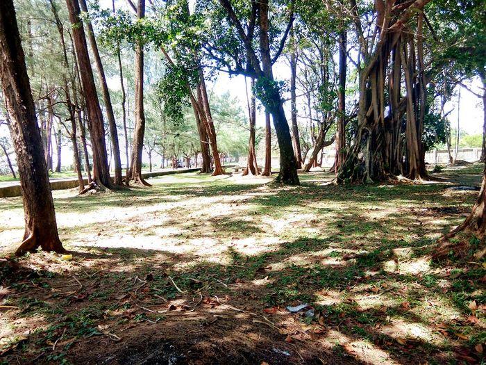 สวนสาธารณะ Tree Tree Trunk Forest Shadow Sunlight Sky Landscape Grass