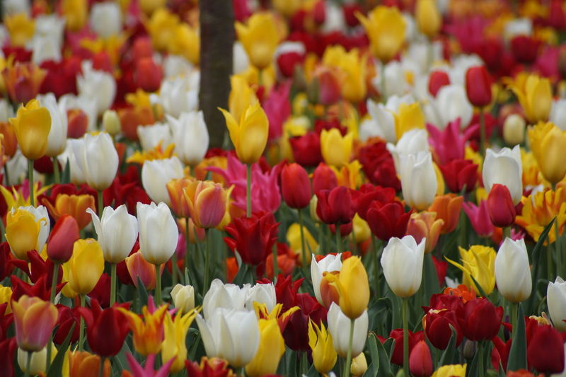 Beauty In Nature Colorful Flower Large Group Of Objects Multi Colored No People Outdoors Tulip