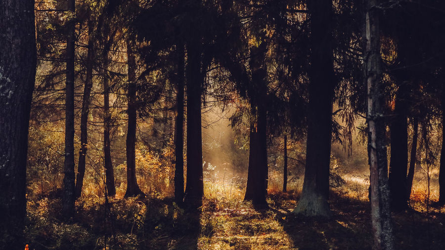 Autumn forest with beatiful falling sun rays in Saint Petersburg province Otradnoe Tree Forest Plant Land Trunk Tree Trunk Tranquility Nature Tranquil Scene WoodLand No People Growth Beauty In Nature Non-urban Scene Scenics - Nature Field Day Landscape Environment Sunlight