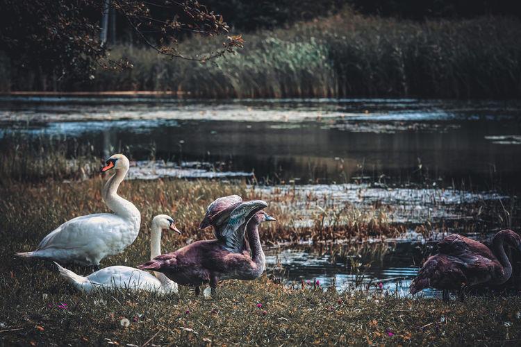 Ducks at lakeshore