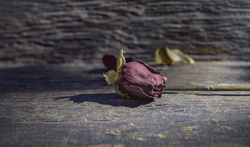 Rose with dried leaves on the old wooden floor.