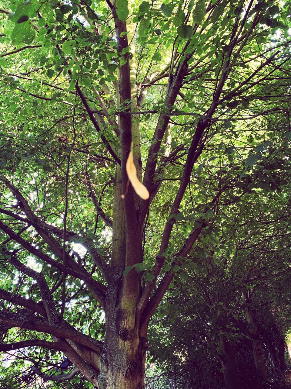 tree, plant, growth, tree trunk, trunk, branch, low angle view, day, tranquility, nature, no people, beauty in nature, forest, land, outdoors, green color, backgrounds, foliage, lush foliage, scenics - nature, tree canopy