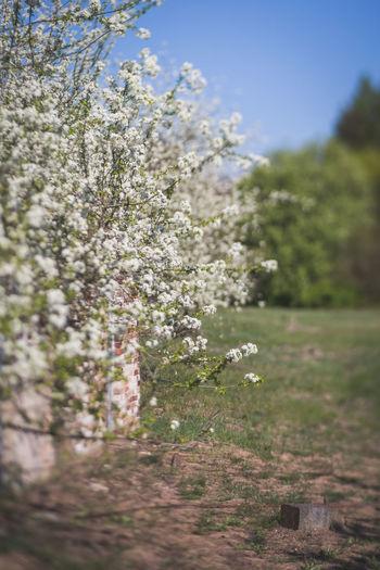 Close-up of cherry blossom tree on field