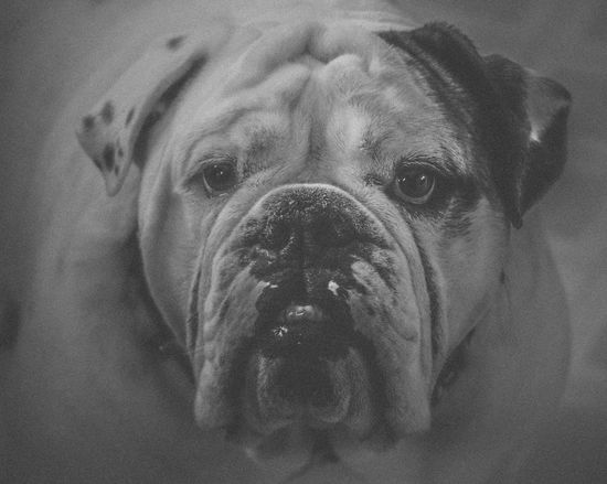 Animal Head  Animal Themes Black And White Bulldog Bullies Close-up Day Dog Domestic Animals English Bulldog Focus On Foreground Front View Gotta Love Me  Headshot High Angle View Indoors  Look At That Face Looking At Camera Mammal No People One Animal Pets Portrait Showcase March The Week On EyeEm Maximum Closeness