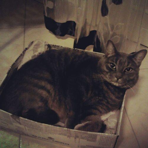 Fumino Gatto Nella Scatola delle scarpe ciccione dolce bello grigio animali cucciolo occhio speciale photography photo 2012