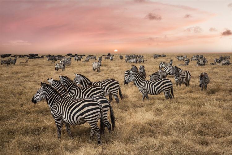 Zebra Group Of