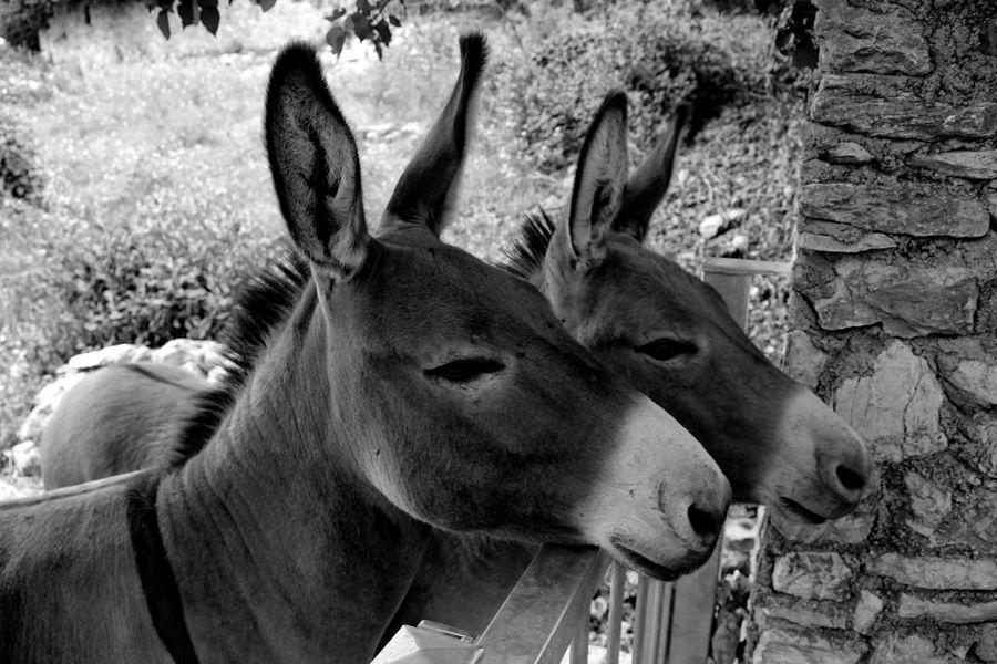 Animal Themes Mammal Animal Head  One Animal Day No People Deer Portrait Antler Animals In The Wild Outdoors Domestic Animals Close-up Nature Donkey Donkeys Bnw_friday_eyeemchallenge BNW_farm_animals Bnw Blackandwhite