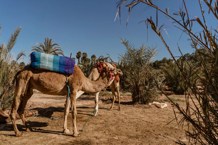 Marrakesh Marrakech Tourist Attraction  Travel Destinations Travel Photography Morocco Mammal Domestic Animals Tree Animal Animal Themes Domestic Working Animal Camel One Animal Outdoors Herbivorous Arid Climate No People Livestock Nature Climate Sunlight Clear Sky Desert