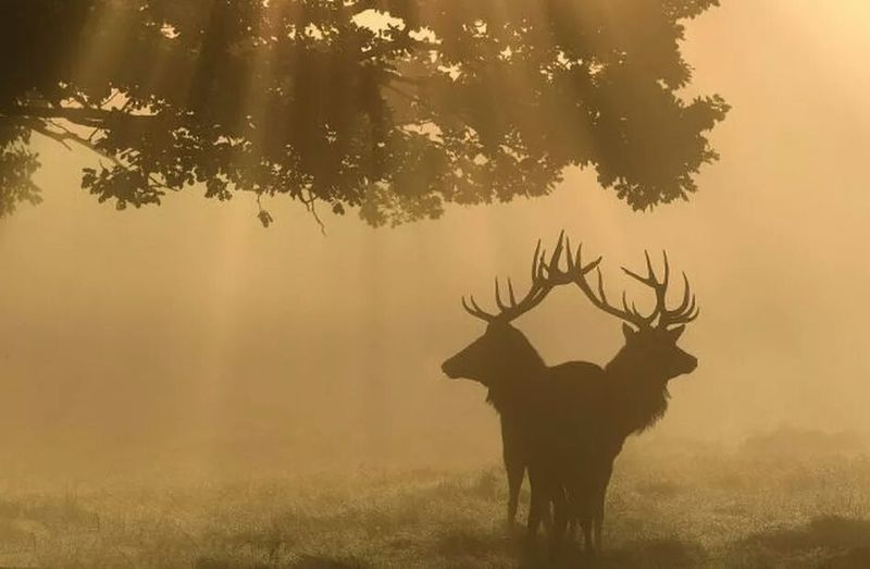 Animal Themes Animal Wildlife Animals In The Wild Antler Beauty In Nature Branch Dawn Day Fog Grass Landscape Mammal Nature No People Outdoors Silhouette Stag Standing Sunset Tree