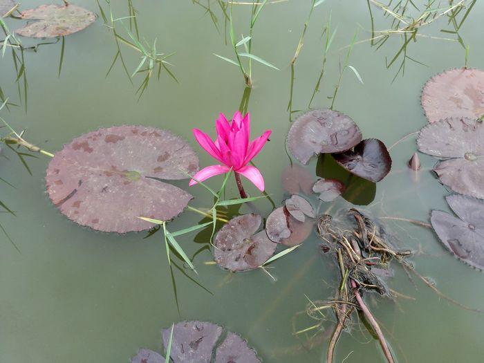 Lotus Nature No People Pink Color Plant Lake Flower Outdoors Day Beauty In Nature Freshness Lotus Lantern Festival Lotus Flower Water Lotus❤ Lotus Water Lily Lotus♥ Lotus Garden Lotus Pond In My Village Lotus Lake Floating On Water Plant Lotus Blossom EyeEmNewHere The Week On EyeEm
