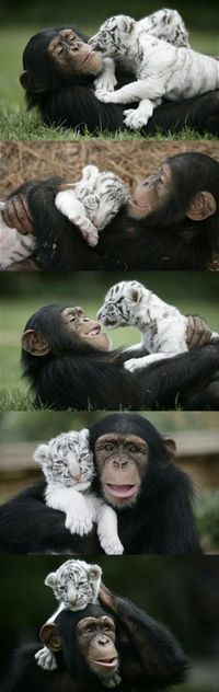 Chimpansee And Tiger