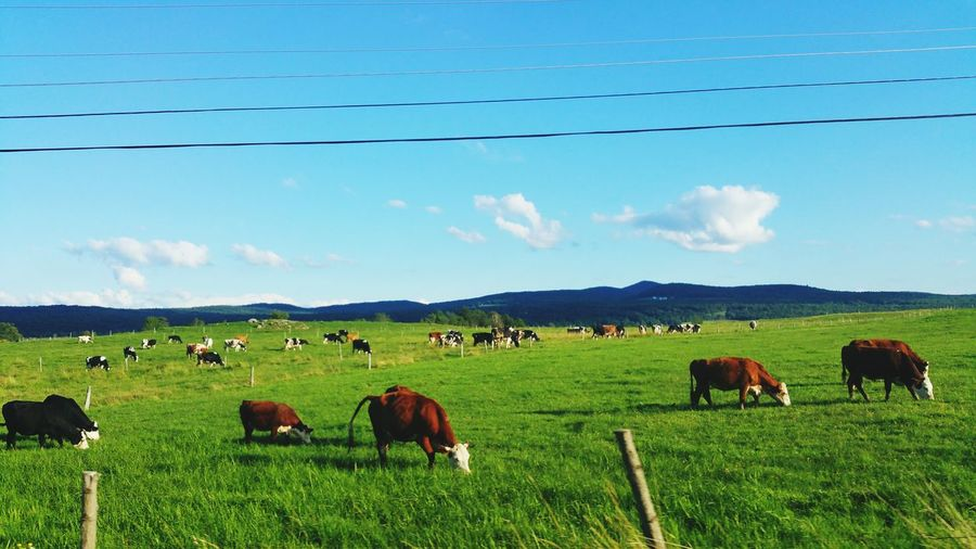 Vt Grassfed Beef Pure And Untouched (raw Image) Rollinghills Natural Beauty Photography Hobbie Virgin Ground Lushgreenery Happy Cows