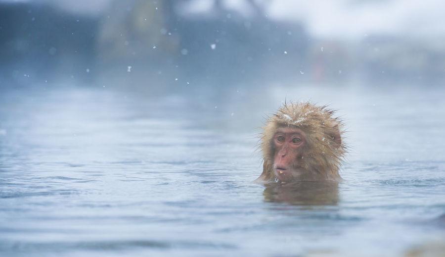 Snow monkey in a hot spring, nagano, japan.