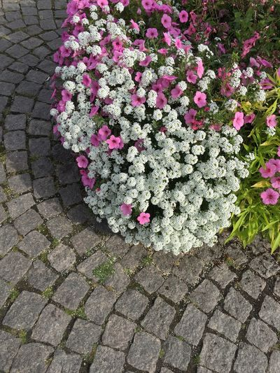 Flower Fragility Growth Freshness Petal Plant Flower Head Beauty In Nature Blossom Nature Springtime Botany Day Hydrangea In Bloom Pink Color Growing Vibrant Color