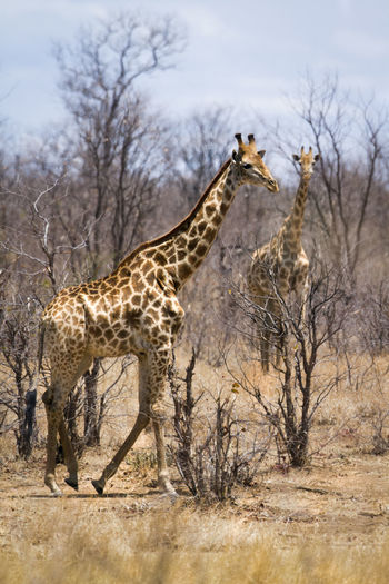 Giraffes and bare trees in national park