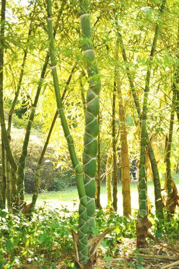 Rencontre avec une espèce de bambou assez originale Bamboo Bamboo Forest La Bambouseraie Anduze Holiday Memories South France