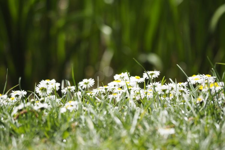 Flower Flower Head Uncultivated Close-up Grass Plant Wildflower In Bloom Daisy Plant Life Flowering Plant Botany Blooming