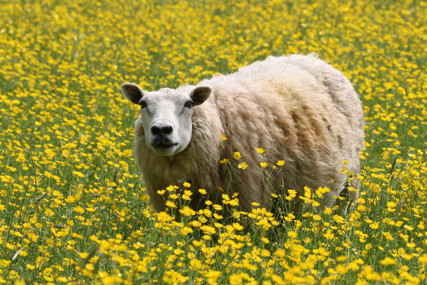 Sheep in a field of daisies Animal Animal Themes Animal Wildlife Beauty In Nature Day Domestic Domestic Animals Field Flower Flowering Plant Freshness Land Mammal Nature No People One Animal Outdoors Plant Portrait Yellow