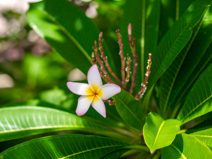 Thai flowers Plant Growth Flower Plant Part Beauty In Nature Leaf Flowering Plant Freshness Fragility Petal Vulnerability  Close-up Flower Head Inflorescence Green Color Nature Focus On Foreground Day No People Frangipani Outdoors