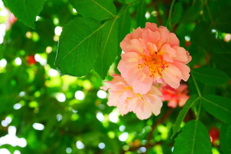 Rose Road Rose