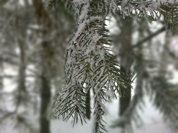 Tree Nature Pinaceae Pine Tree Branch Winter Outdoors