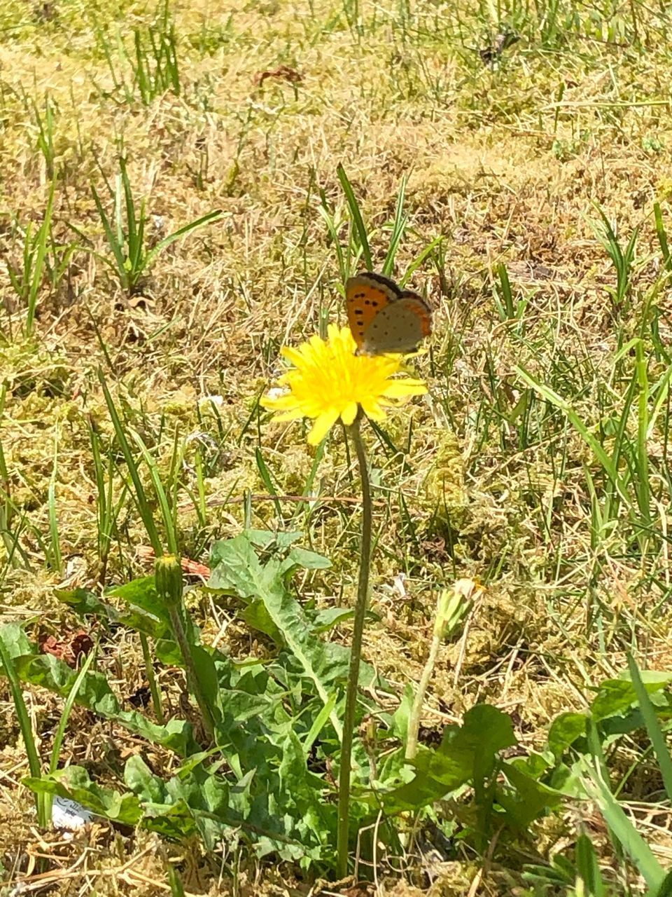 flower, flowering plant, plant, growth, beauty in nature, yellow, fragility, freshness, vulnerability, flower head, petal, nature, land, field, inflorescence, day, green color, one animal, no people, close-up, outdoors, pollen, butterfly - insect, pollination, butterfly