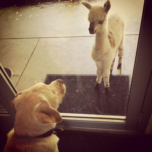 Love Without Boundaries Labrador Alpaca Babyanimals Miltonbiscuit Cria Haylilla Alpacas Animal Themes Dog