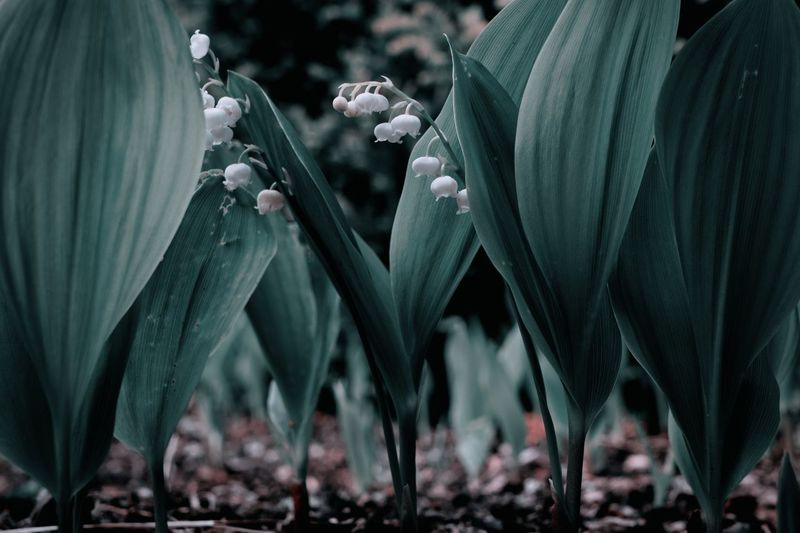 Lily of the valley in the shadow