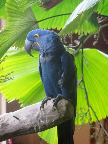 Hyacinth Macaw Close-up Macaw Hyacinth Hyacinth Macaw Blue Bird Birds Of EyeEm  Bird Photography Birds_collection Perching Beak Blue Feathers Feathers Backgrounds Banana Leaf