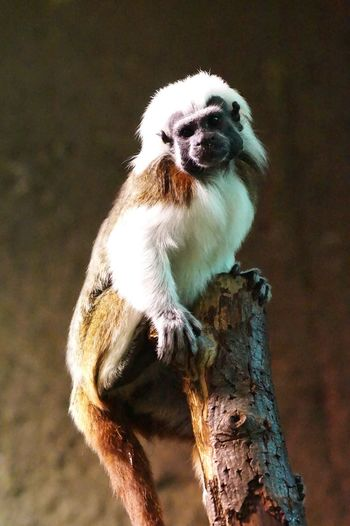 Cotton Top Tamarin Edit Photo Fine Art Photography Colour Of Life 2016 Juni Niklas Dramatic Angles BYOPaper! The Week On EyeEm Perspectives On Nature