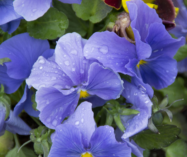Beauty In Nature Blooming Blossom Blue Botany Close-up Day Flower Flower Head Focus On Foreground Fragility Freshness Growth In Bloom Leaf Nature No People Outdoors Petal Plant Pollen Purple Selective Focus Stamen Water