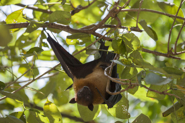 Foxbats in Thailand ASIA Bat Thailand Animal Themes Animal Wildlife Animals In The Wild Bat - Animal Branch Close-up Day Fox Bat Foxbat Fruit Green Color Hanging Leaf Low Angle View Mammal Nature No People One Animal Outdoors Tree