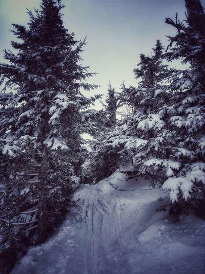 On the snow Vermont Pine Tree Skiing Mountain Trail Snow Tree