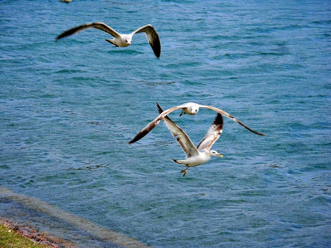 Animal Themes Beak Bird Bird Photography Carefree Flying Flying Bird Seagull Heartland Of America Park At Heartland Of America Park Omaha, Nebraska Omaha Nebraska Photography In Motion Feel The Journey